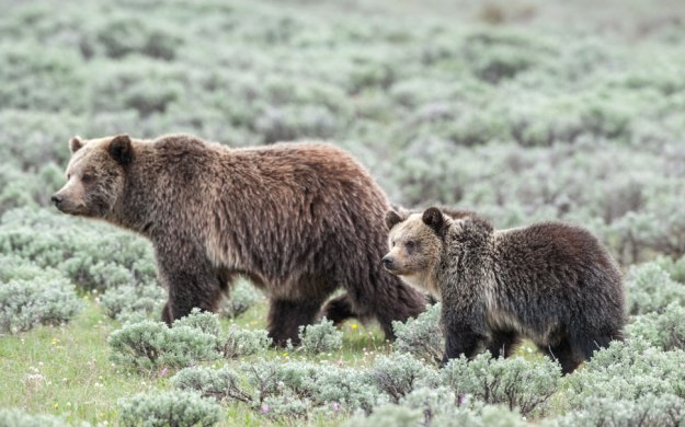 Tom-Murphy-Grizzly-Sow-Cub.jpg
