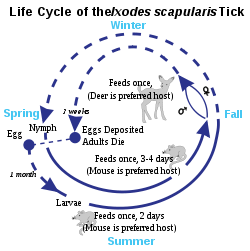 250px-Deer_Tick_life_cycle.svg.png