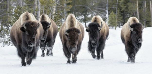 Bison-slaughter-Yellostone2-900x440.jpg